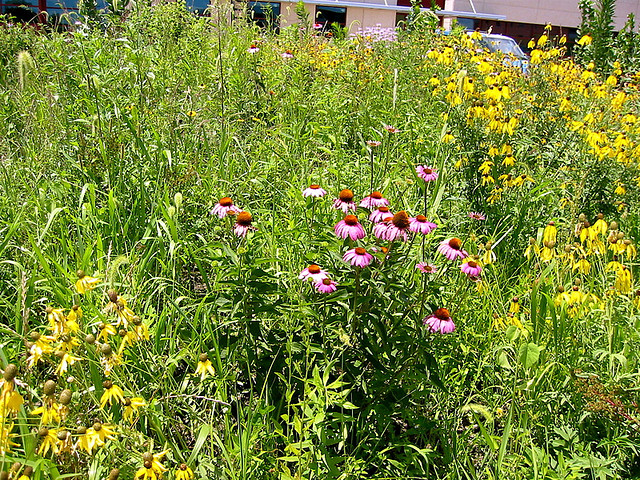 a mix of medium height prairie plants in a garden