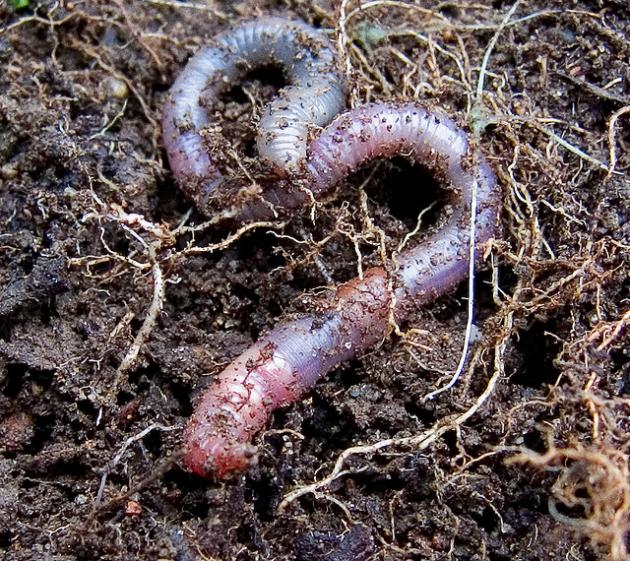 An earthworm in the soil
