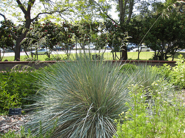 A Blue oat grass plant in a garden