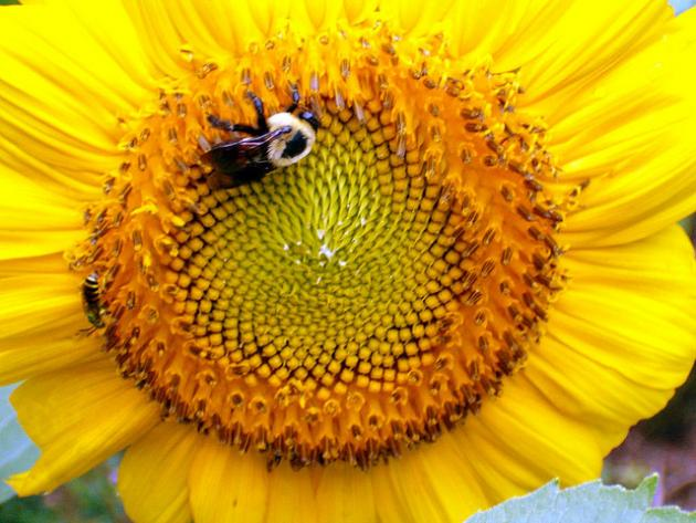 Bee visiting sunflower