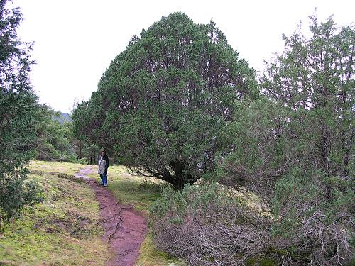 a Rocky mountain juniper tree along a trail with two people standing next to the trail and underneath and to the side of the tree