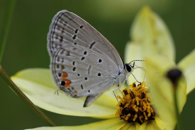 Gray butterfly on a yellow flower