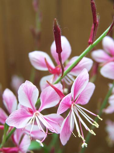 Flowers with a bright pink center and white edges