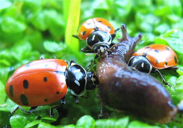 Ladybugs eat a slug