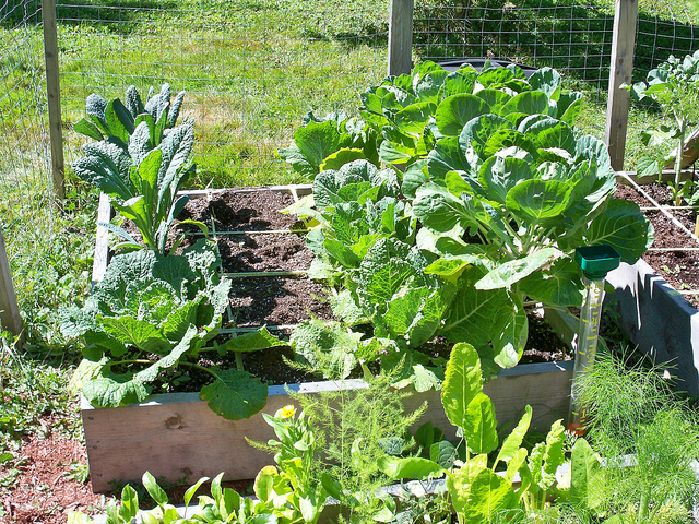 vegetables in a raised bed