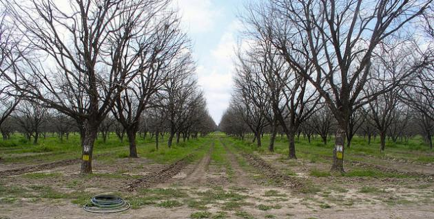 rows of leafless pecan trees