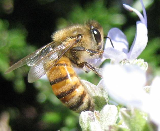 Bee feeding on a white flower