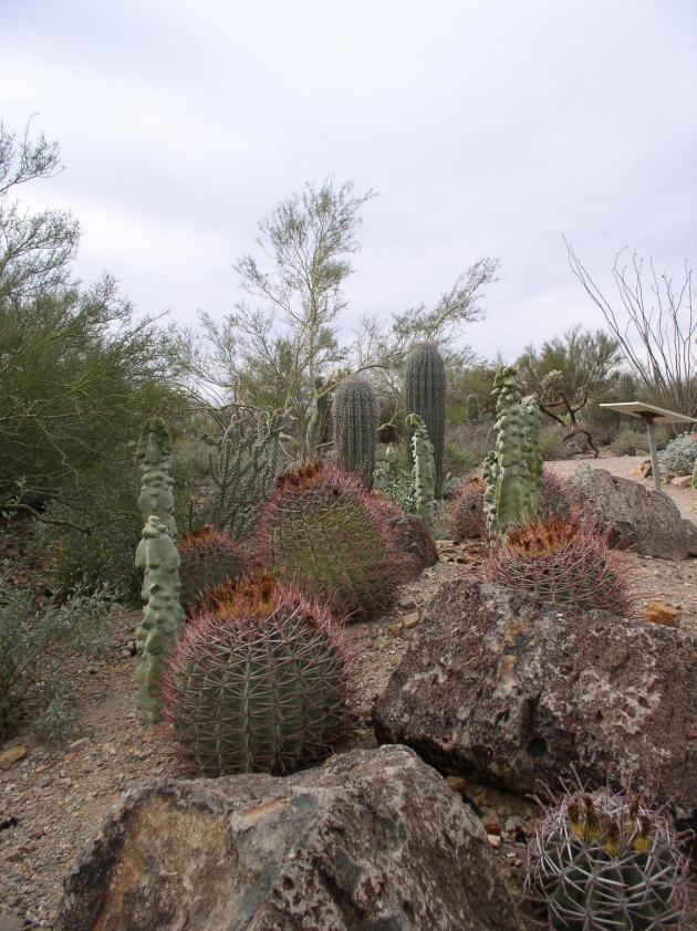 several species of cactus in a demonstration garden in Arizona