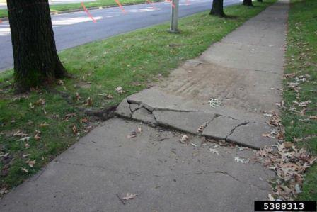 sidewalk cracking and buckling under pressure from an underlying tree root