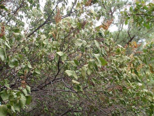 Dull drooping leaves and dead branches on lilac shrubs