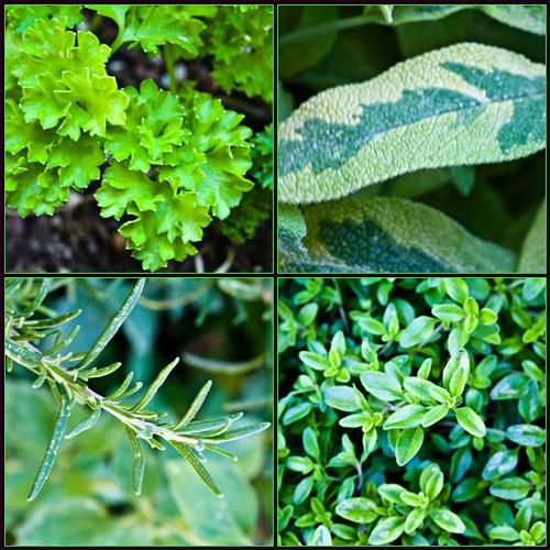 Closeup photos from top left to right. Parsley, variegated sage, rosemary, thyme